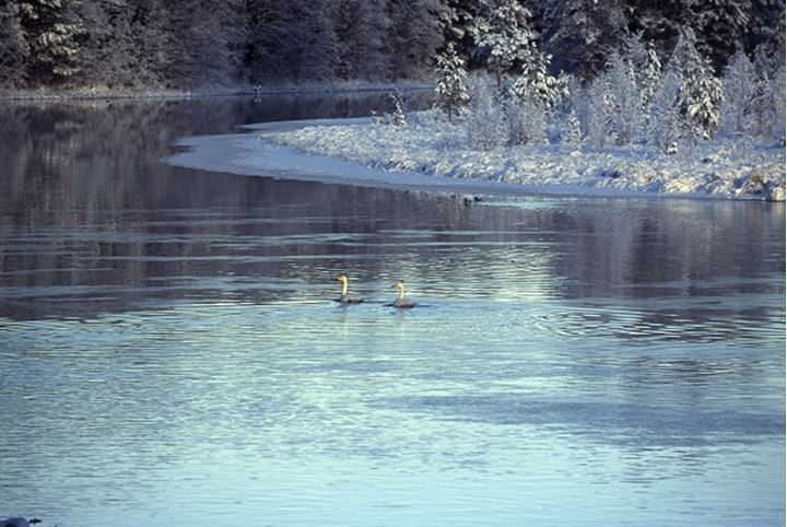 Two ducks swimming in the river