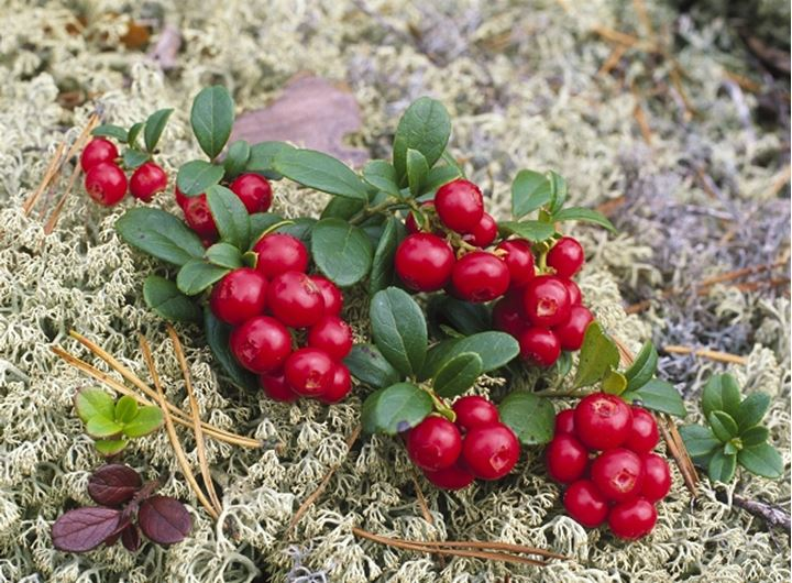 Closeup view of red berries