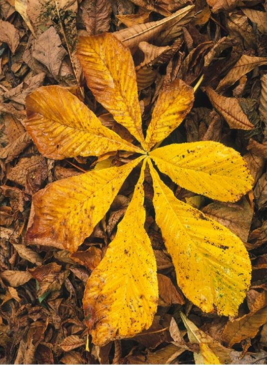 Autumn horse chestnut leaves