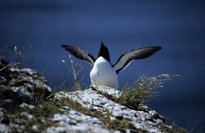 An auk on the rock with wings out