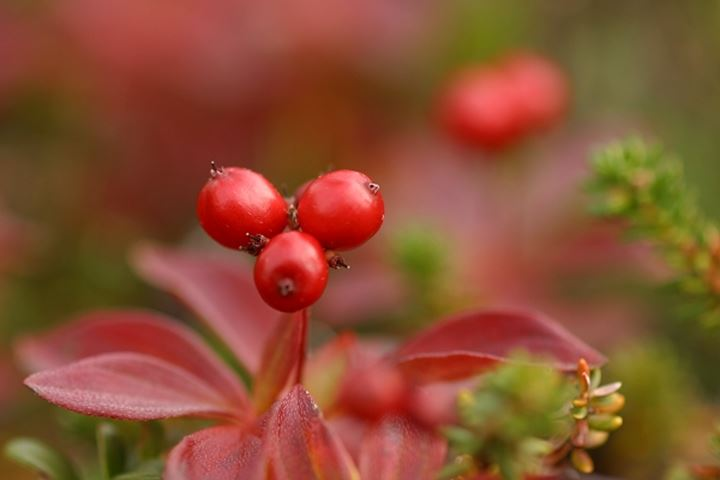 Close-up of red cowberries