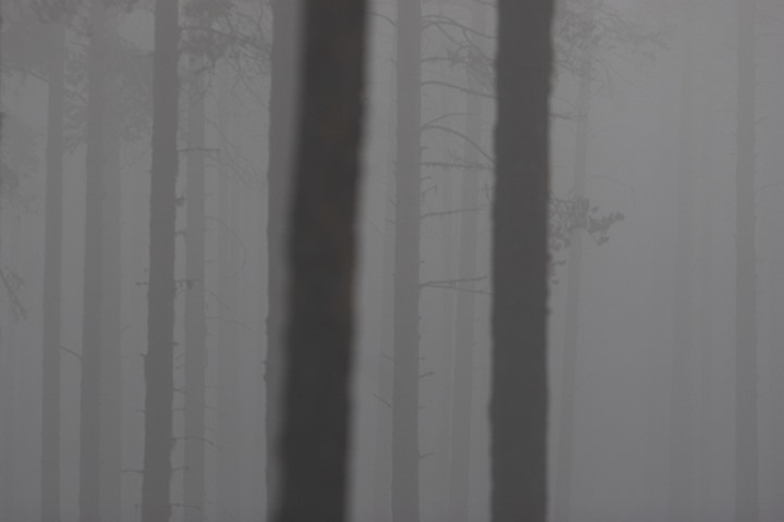 Tree trunks in a foggy forest