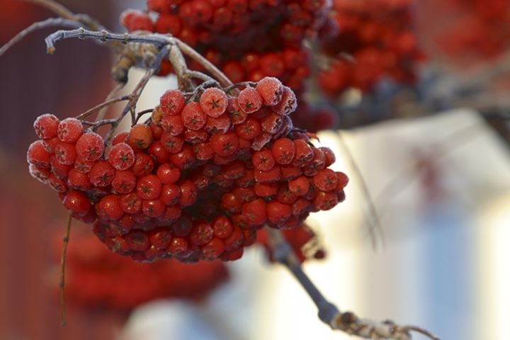 Close up view of the cluster of red cherries