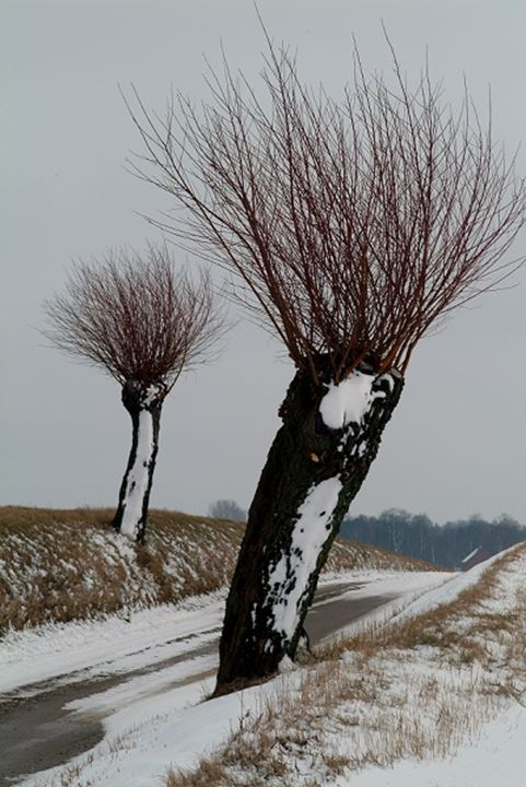 Trees covered with snow at a roadside, Skane, Sweden