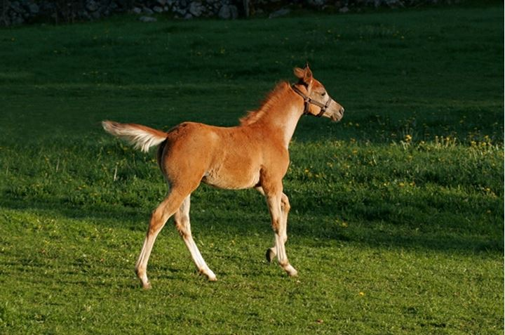Brown horse in action whilst running in the field