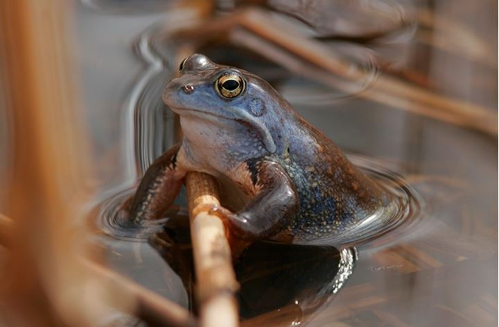 Close-up of a frog in water