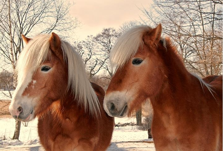 Close-up of two horses, Sodermanland, Sweden