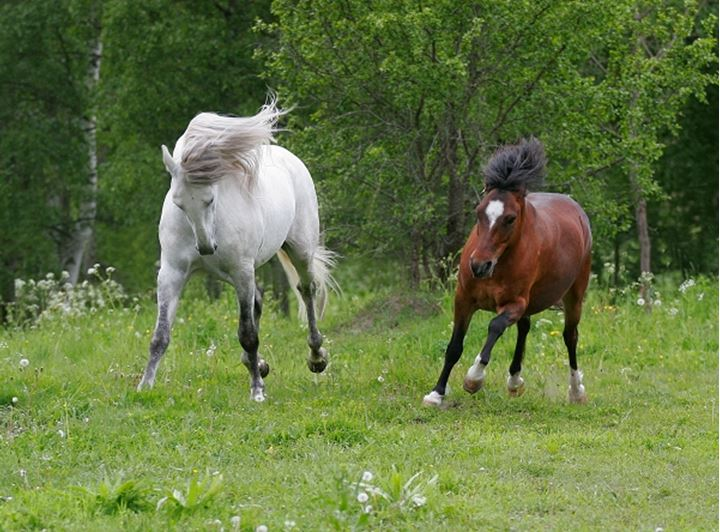 Pair of horses running in the field
