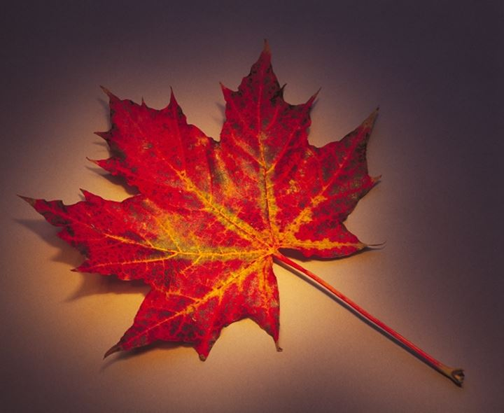 Close-up of a maple leaf