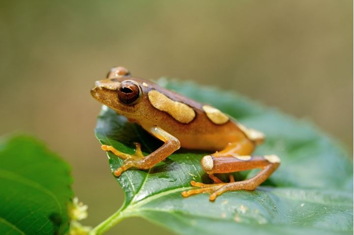 Side view of a frog perching on green leaf, Kenya