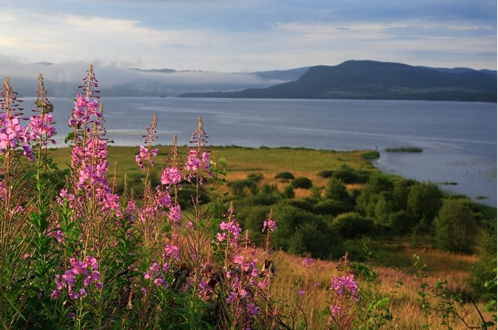 Pink flowers blooming by a river with hills at a distance, Sweden