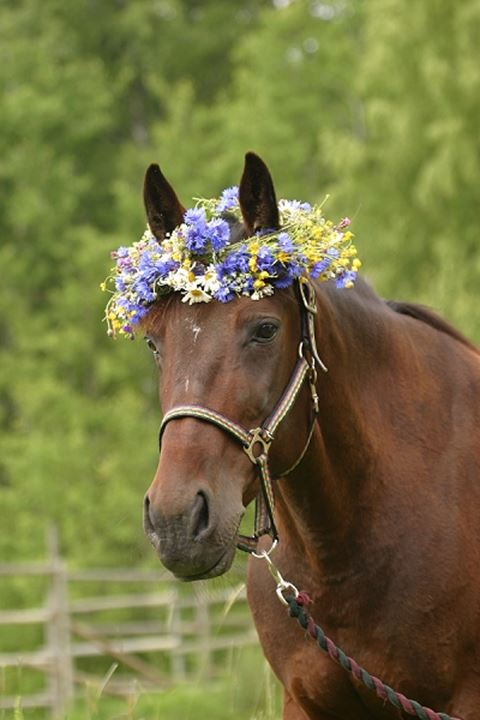 Headshot of a horse with garland and bridle, Sweden.