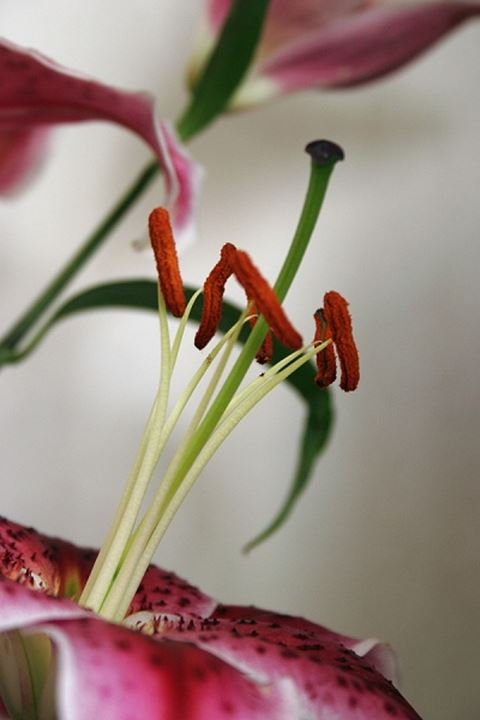Close-up view of red pollen seeds of lily flower