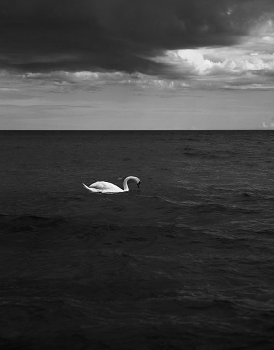 Duck swimming in sea with horizon at a distance in Falsterbo, Scania, Sweden
