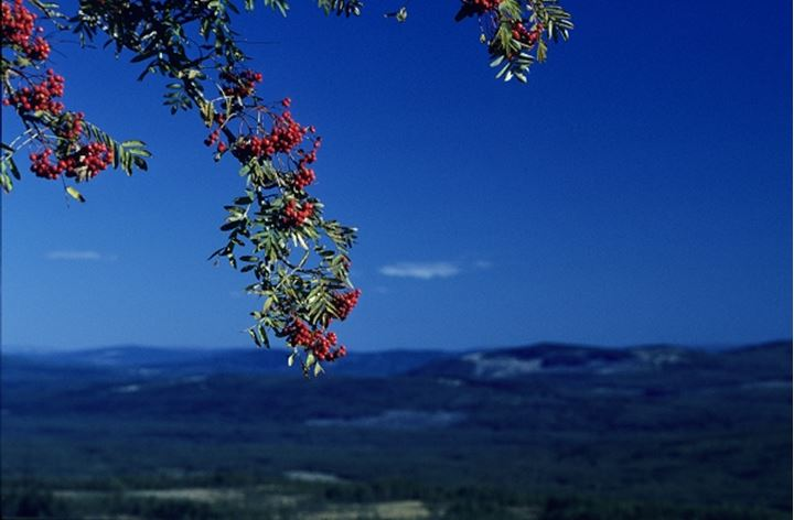 Cherries on the branch and hills in the background