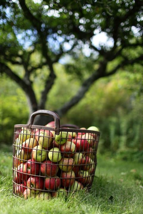 Basket of freshly picked apples. Sweden.