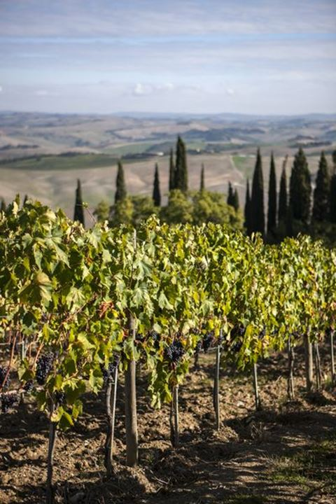 Vineyard near Montalcino, Tuscany, Italy,