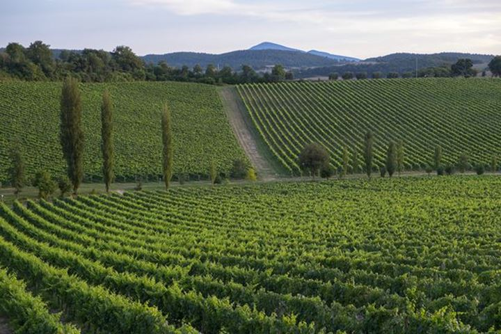 Wine culturing near Montepulciano,Italy,