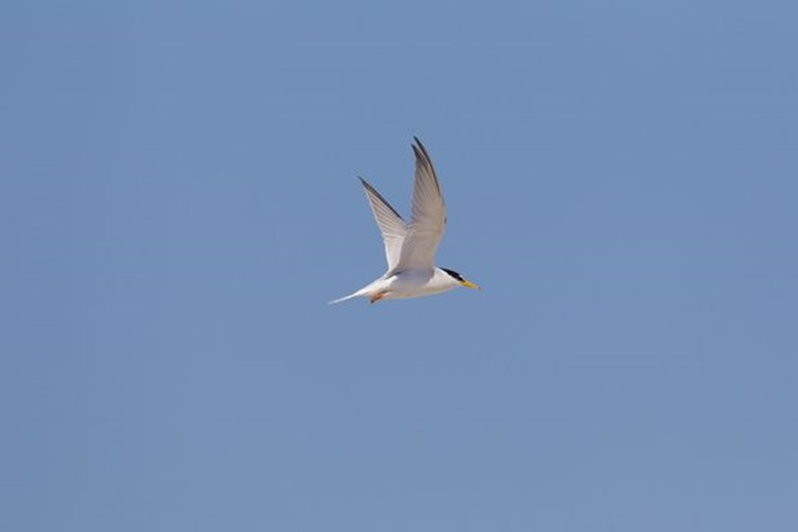 Little Tern in flight