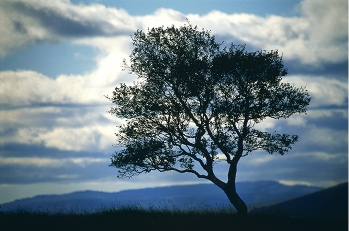 A lone tree, cloudy sky above and mountains in the distance