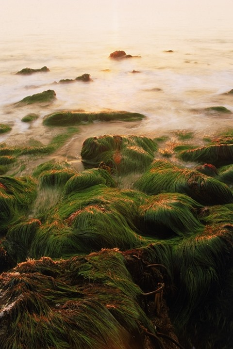 Green seagrass flowing over rocks at low tide along Pacific Coast