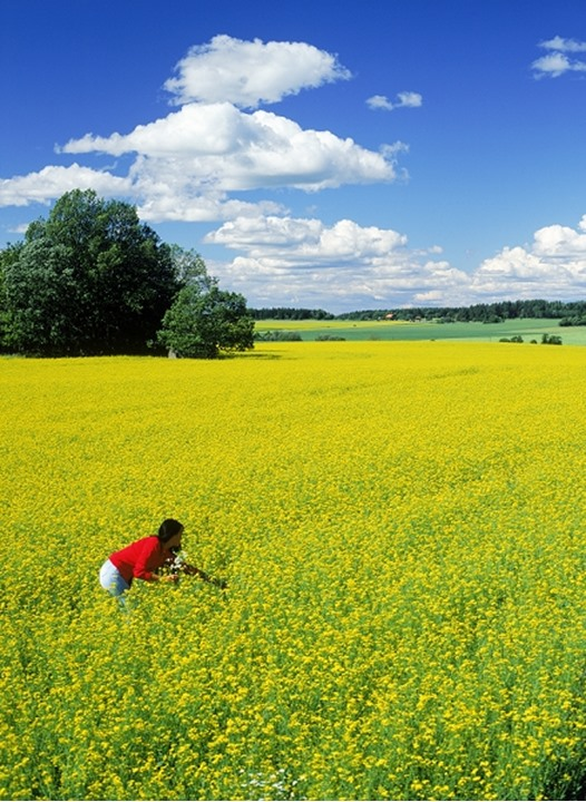 Woman in field of yellow rape in Sweden under blue skies