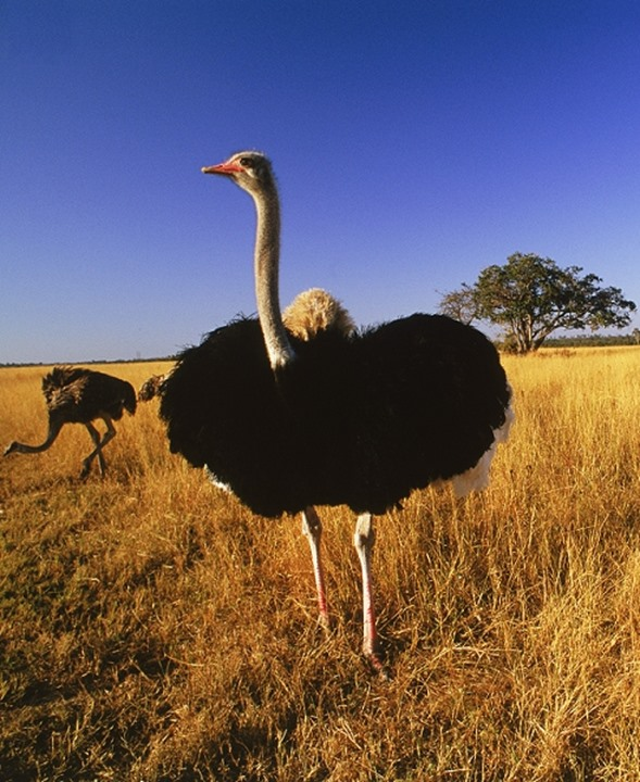 Male ostrich in sunset light in Zimbabwe