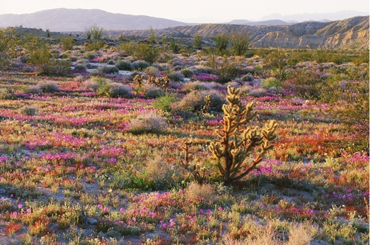 Anza-Borrego desert scenic in spring with Teddybear cactus, Cholla and Sandverbenas in blossom