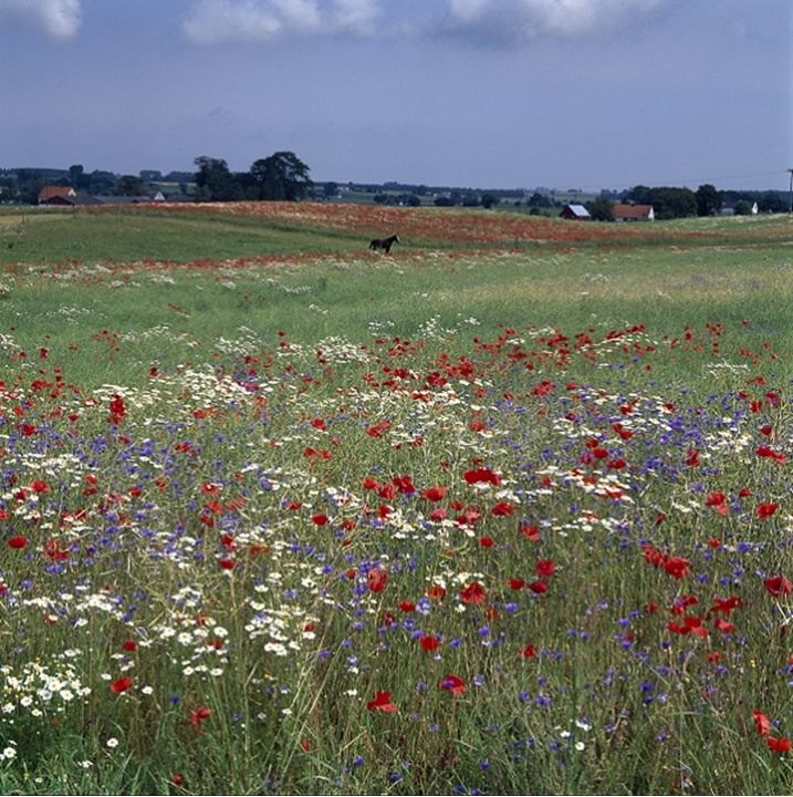 Wild flowers in a meadow, a horse in distance