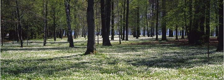 A carpet of small white flowers in a forest